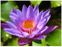 lotus - gentle yoga